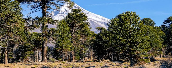 Araucaria forest Nequen province Argentine Patagonia